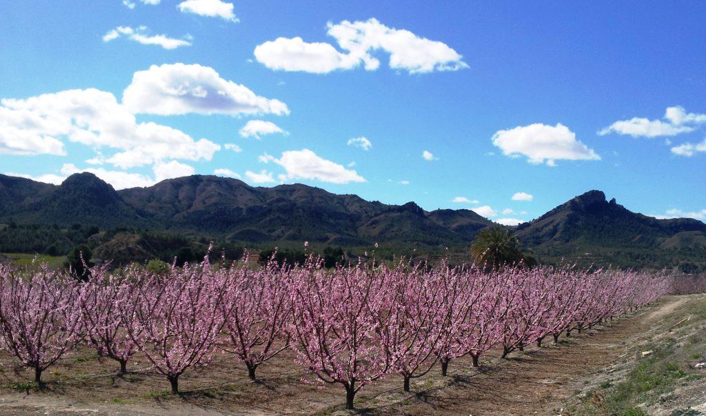 Imagen de los campos de Cieza en plena Floración de Cieza, foto Cieza En Tu Mano.
